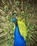 """Набор для раскрашивания акриловыми красками Павлин 1 шт. (""""ФРЕЯ"""" PNB-1-09) 50см х 50см"""