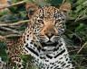 """Набор для раскрашивания акриловыми красками Леопард 1 шт. (""""ФРЕЯ"""" PNB-1-06) 50см х 50см"""